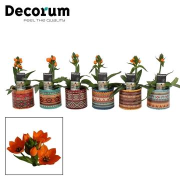Ornithogalum Dubium Oranje 1pp in Ompot Africa (Decorum)