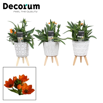Ornithogalum Dubium Oranje 3pp in Yara (Decorum)