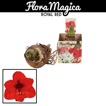 Hippeastrum 38/40 Red in Bulb Box