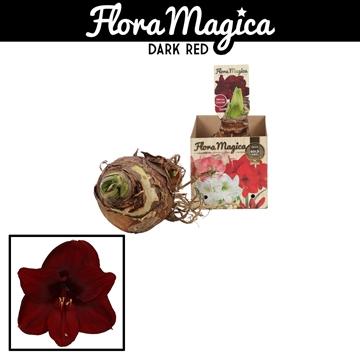 Hippeastrum 38/40 Dark Red in Bulb Box