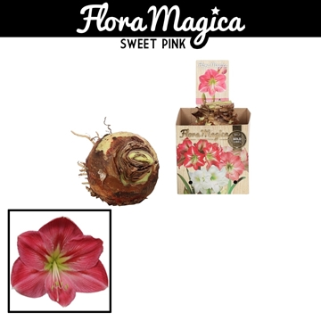 Hippeastrum 42/44 Pink in Bulb Box