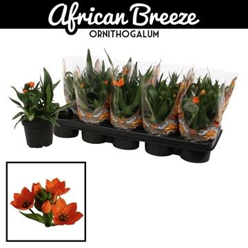 Ornithogalum Dubium Oranje 2-3 pp KORT