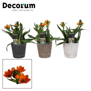 Ornithogalum Dubium Oranje 3pp Luna (Decorum)