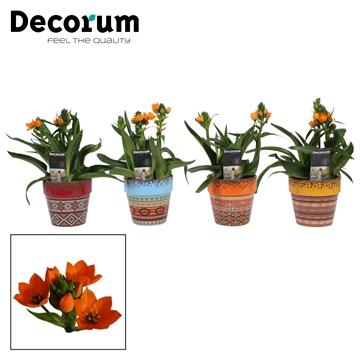 Ornithogalum Dubium Oranje 3pp Nairobi (Decorum)