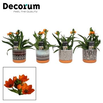 Ornithogalum Dubium Oranje 3pp Kenya (Decorum)