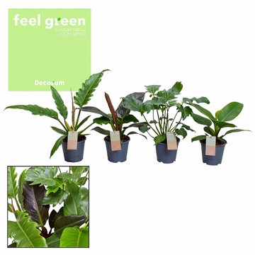Philodendron mix (Decorum) Feel Green