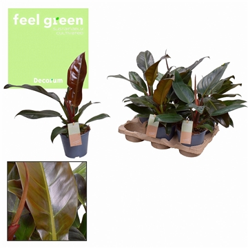 Philodendron Imperial Red Feel Green (Decorum)