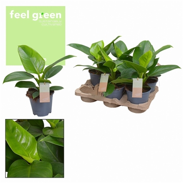 Philodendron Imperial Green Feel Green (Decorum)