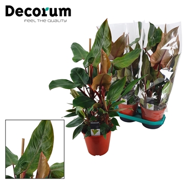 Philodendron Red Twins 19 cm