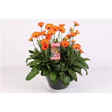 Gerbera Garvinea 40cm 10+ bl oranje