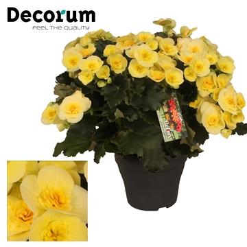 Begonia ''Belove Yellow''