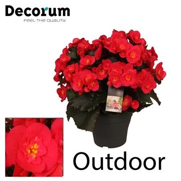 Begonia ''Belove Cherry'' Outdoor