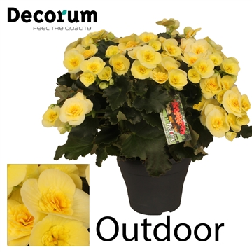 Begonia ''Belove Yellow'' Outdoor