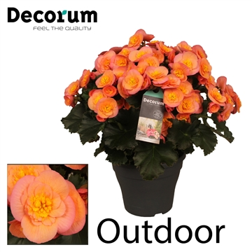 Begonia ''Belove Peach'' Outdoor
