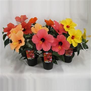 Hibiscus Hawaii® Aloha Singleflower 3-5 tak