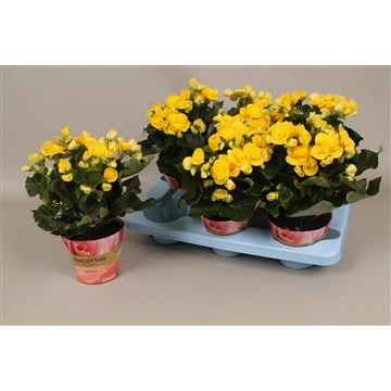 Begonia  geel  russia