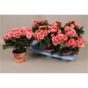 Begonia  rose russia
