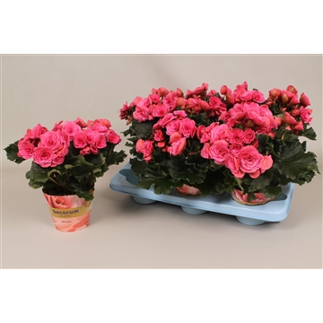 Begonia  paars  russia