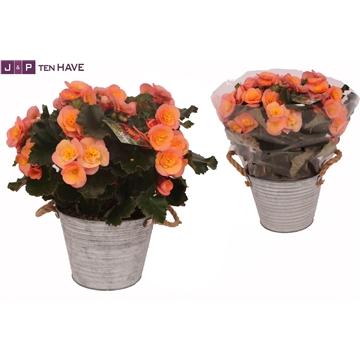 Begonia ''Belove Peach'' Outdoor in Zink Sierpot