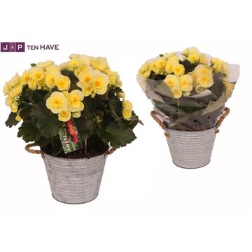 Begonia ''Belove Yellow'' Outdoor in Zink Sierpot