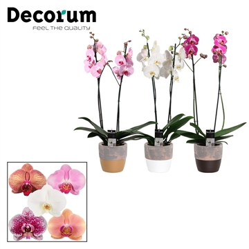 Phalaenopsis 2 tak mix in Texas (Stone Touch-collection)