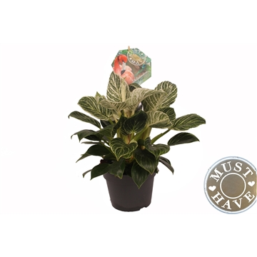 Philodendron ''fuse'' 'must have'