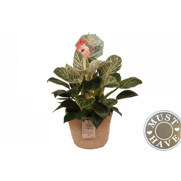 Philodendron ''Fuse'' in Jutte Mand ''Must Have''