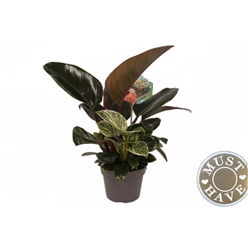 """Philodendron """"Diamond Fuse'' Duo Kleur ! ''Must Have''"""