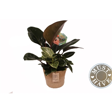 Philodendron ''Diamond Fuse'' Duo Kleur in Jutte Mand