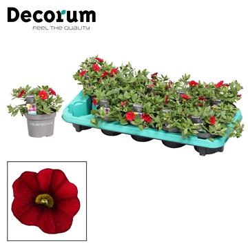 Calibrachoa - 10,5 cm - Dark Red - Decorum