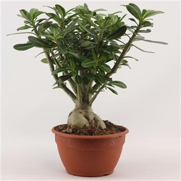 Adenium Green Bonsai 20 cm