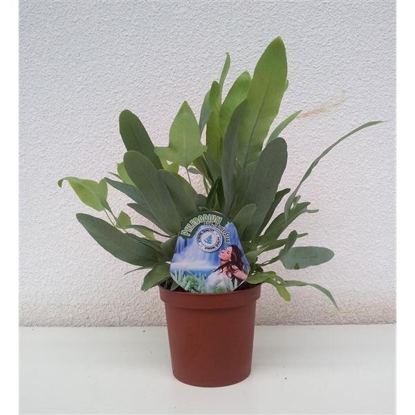 phlebodium blue star ph0ra floraxchange. Black Bedroom Furniture Sets. Home Design Ideas