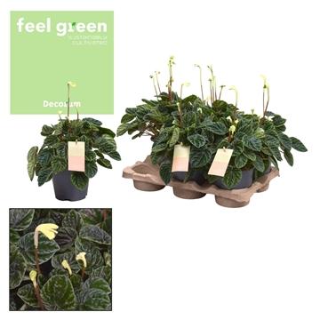 Peperomia Lilian Feel Green (Decorum)
