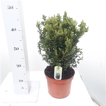 Buxus sempervirens 30-40cm struik extra