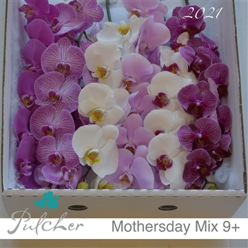 Phalaenopsis Mothersday Mix 9+