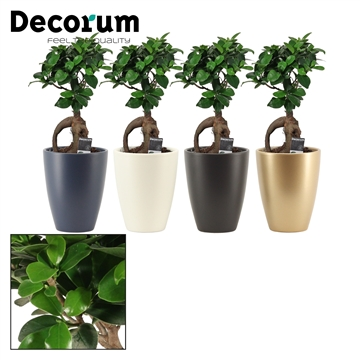 Ficus Ginseng Bonsai geënt 12 cm in Carly (Neo Architect-coll.)