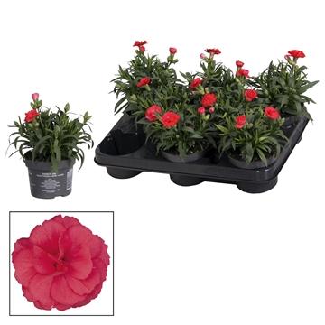 Dianthus - 10,5 cm - Oscar Red