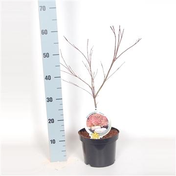 Acer palm. Deshojo 40-50 C3