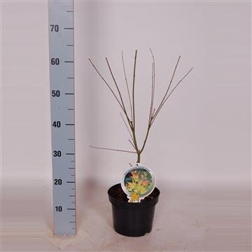 Acer palm. Orange Dream 40-50 C3