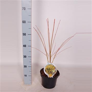 Acer palm. Sangokaku 40/50 C3