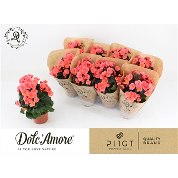 Begonia Sweeties Salmon P12 Dolc'Amore® Kraft