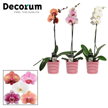 Phalaenopsis 1 tak mix in Vibe (Soft Illusion-collection)