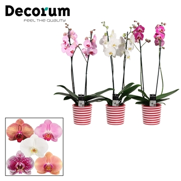 Phalaenopsis 2 tak mix in Vibe (Soft Illusion-collection)
