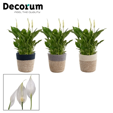 Spathiphyllum 6,5 cm Chopin in Jelle mand - Neo architect