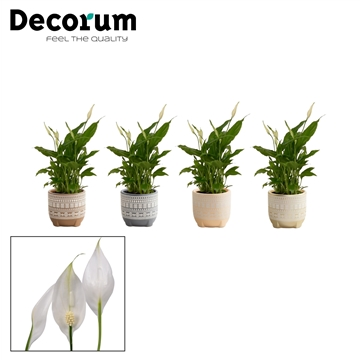 Spathiphyllum 9 cm Chopin in Neo - Neo Architect