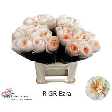 R GR Creme Ezra 40 cm