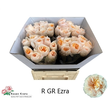 R GR Creme Ezra 60 cm