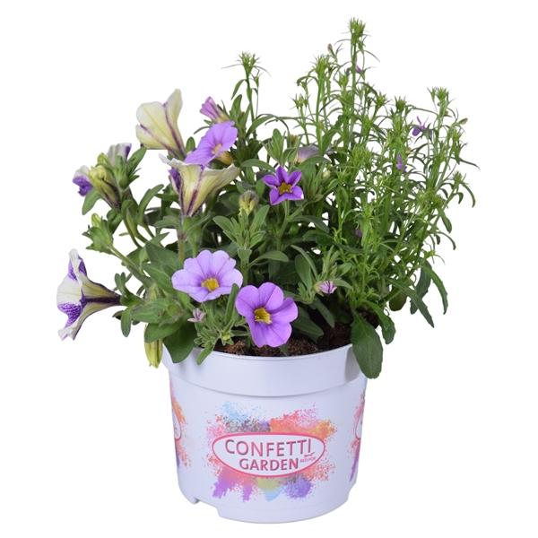 Confetti Garden 13cm Waterrose