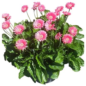 Gerbera Garvinea 32cm 7bl rose