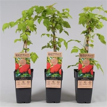Rubus idaeus 'Malling Promise', P15